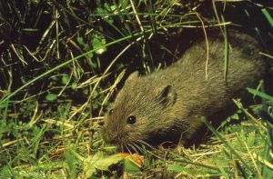 A photograph of a vole emerging from grass